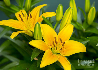 Photograph - Tiger Lily by Brad Marzolf Photography
