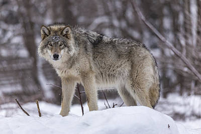 Photograph - Timber Wolf In Winter by Josef Pittner