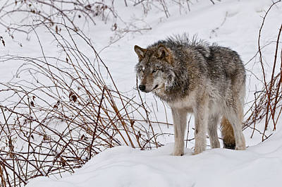 Print featuring the photograph Timber Wolf In Winter by Michael Cummings
