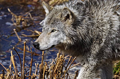 Art Print featuring the photograph Timber Wolf by Michael Cummings