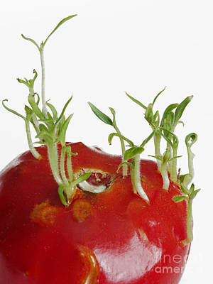 Tomato Seedlings Sprouting Art Print by Scimat