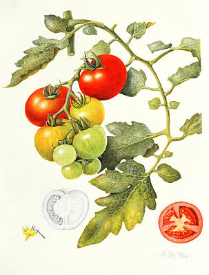 Vegetables Drawing - Tomatoes by Margaret Ann Eden