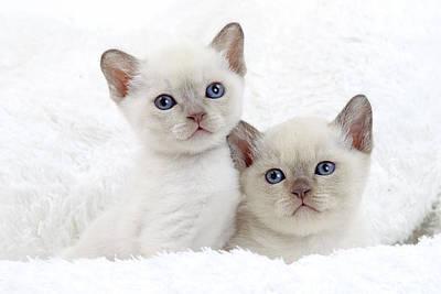 Tonkinese Kittens Art Print