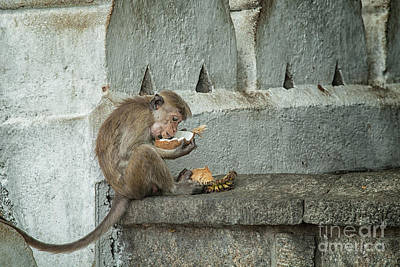 Photograph - Toque Macaque by Patricia Hofmeester