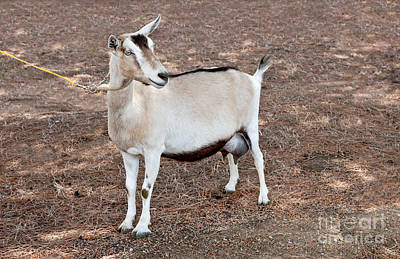 Uc Davis Photograph - Transgenic Goat by Inga Spence