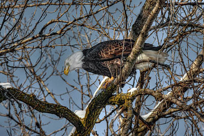 Photograph - Tree Top Eagle by Ray Congrove
