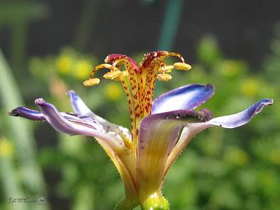 Mccombie Photograph - Tricyrtis Named Taipei Silk by J McCombie