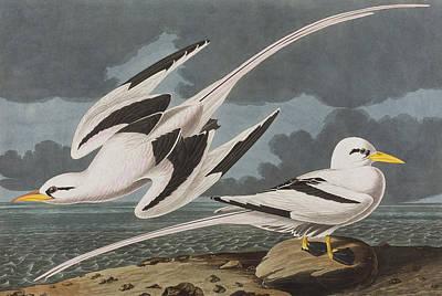 Sea Bird 2 Painting - Tropic Bird by John James Audubon