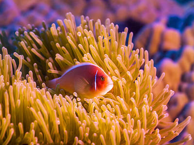 Undersea Photograph - Tropical Fish Pink Clownfish by MotHaiBaPhoto Prints