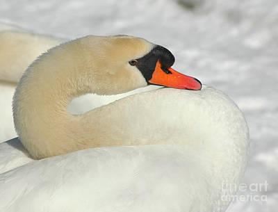 Photograph - Trumpet Swan by Mark Gilman