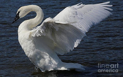 Photograph - Trumpeter Swan by Sue Harper