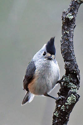 Photograph - Tufted Titmouse by Alan Lenk