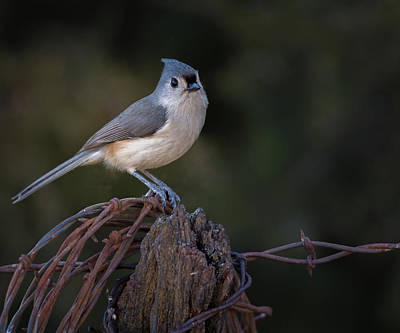 Tufted Titmouse Photograph - Tufted Titmouse by Larry Pacey