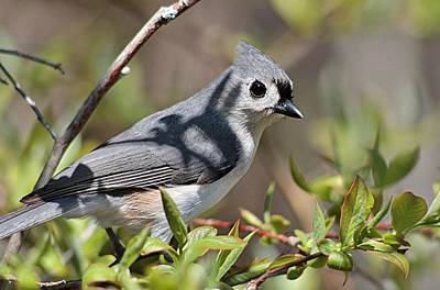 Tufted Titmouse Photograph - Tufted Titmouse On Tree Trunk by Linda Crockett