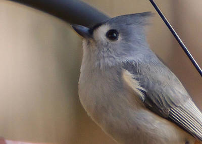 Photograph - Tufted Titmouse by Robert L Jackson