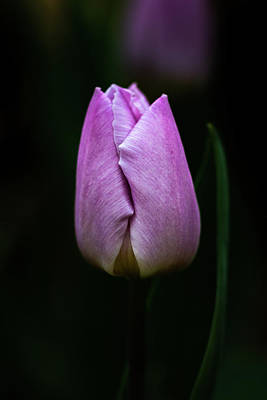 Photograph - Tulip by Jay Stockhaus
