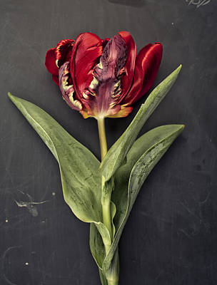 Royalty-Free and Rights-Managed Images - Tulip by Nailia Schwarz