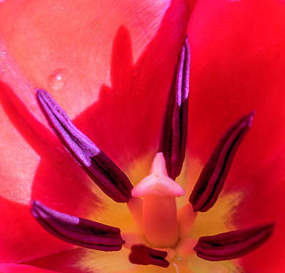 Photograph - Tulip Porn by Cathy Donohoue