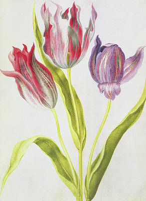 Tulip Drawing - Tulips by Nicolas Robert