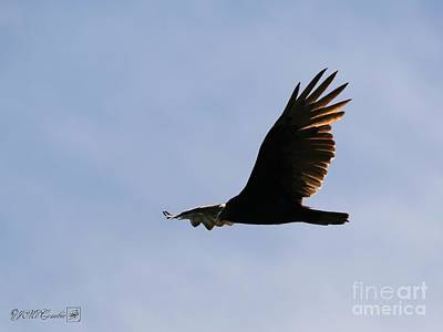 Photograph - Turkey Vulture In Flight by J McCombie