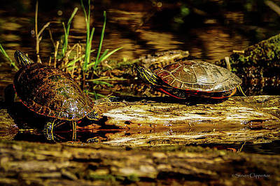 Photograph - 2 Turtles by Steven Clipperton