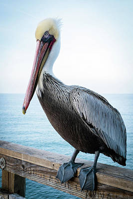 Photograph - Portrait Of A Pelican by Catherine Lau