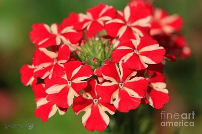 Photograph - Verbena Named Voodoo Red Star by J McCombie