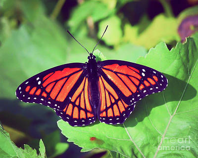 Photograph - Viceroy Butterfly   by Kerri Farley
