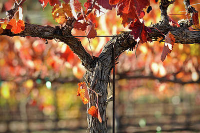 Wine Photograph - Vine by Brandon Bourdages