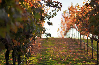 Photograph - Vineyard Sunset by Brandon Bourdages