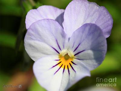 Photograph - Viola Named Sorbet Yesterday, Today And Tomorrow by J McCombie