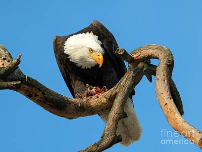 Eagle Photograph - Watchful by Mike Dawson