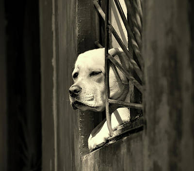 Dog Portraits From Photograph - Watching From The Window by Mountain Dreams