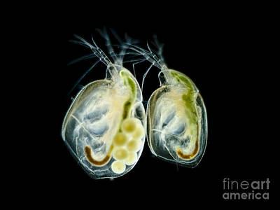 Daphnia Magna Photograph - Water Fleas Simocephalus Sp., Lm by Rub�n Duro/BioMEDIA ASSOCIATES LLC
