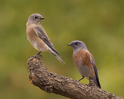 Western Bluebird Art Print by Doug Herr