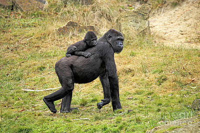 Gorilla Photograph - Western Gorilla And Young by Jurgen & Christine Sohns/FLPA