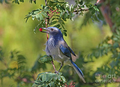Tree Photograph - Western Scrub Jay by Gary Wing
