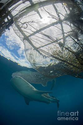 Water Filter Photograph - Whale Shark Swimming by Mathieu Meur