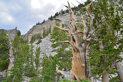 Photograph - Wheeler Peak Basin Bristlecone by Ray Mathis