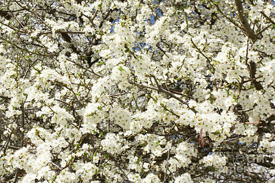 Photograph - White Cherry Flowers by Irina Afonskaya