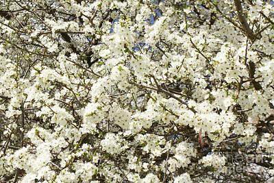 Photograph - White Cherry Flowers by Irina Afonskaya