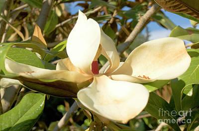 Photograph - White Magnolia by Irina Afonskaya