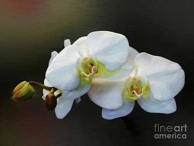 Photograph - White Orchid - Doritaenopsis Orchid by Kaye Menner