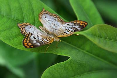 Photograph - White Peacock Butterfly  by Saija Lehtonen