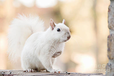 White Squirrel Art Print