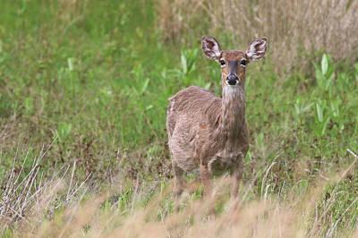Photograph - White Tail Deer Calverton New York by Bob Savage