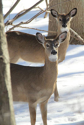 Photograph - White Tailed Deer Smithtown New York by Bob Savage