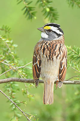 Photograph - White-throated Sparrow by Alan Lenk
