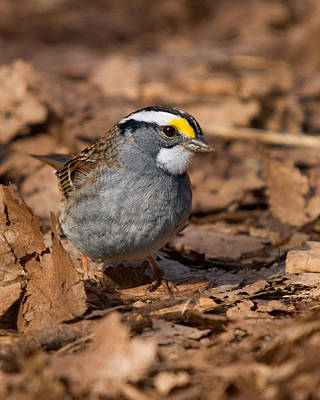 Photograph - White-throated Sparrow by Timothy McIntyre