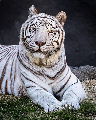 Photograph - White Tiger by Ron Pate